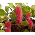 "Acalypha hispida ""small form"""