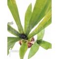 Bromélia 'Aechmea kertesziae'