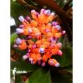 Bromélia 'Aechmea miniata'
