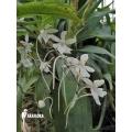 Orchidée 'Aerangis biloba'