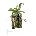 Orchidée 'Aerangis brachycarpa'