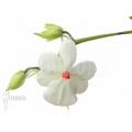 Orchidée 'Aerangis luteoalba var. Rhodosticta'