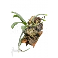 Orchidée 'Aerangis rhodosticta'