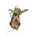 Orchidée 'Aerangis somalensis'