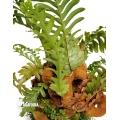 Aglaomorpha coronans