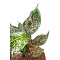Aglaonema hybrid 2