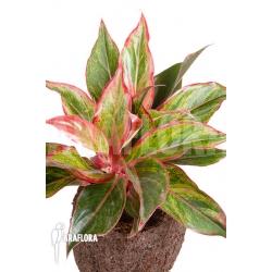 Aglaonema hybrid 'Crete'