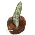 Aglaonema pumilum 'M'