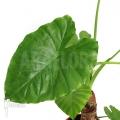 Alocasia cucullata 'Buddha Hand Plant'