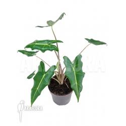 Alocasia x Sarian (zebrine x micholitziana) 'S'