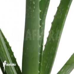 Aloë vera (Aloe)