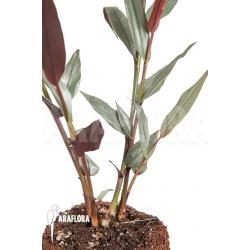 Alpinia luteocarpa 'S'