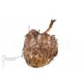 Amorphophallus titanum 'tuber'
