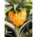 Ananas nanus