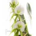 Orchidée 'Angraecum eburneum'