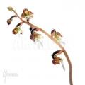 Orchidée 'Anoectochilus formosanus'