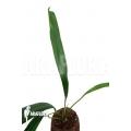 """Anthurium bakkeri """"M"""""""