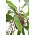 Anthurium gracile 'XL'