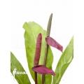 Anthurium species Rio Dulce Guatemala