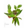 Anthurium terrarium paquet