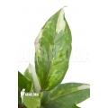 Anthurium variegated starter