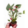 Anthurium x Mini jungle