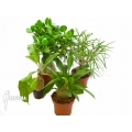 Araflora antplant package fourspecies