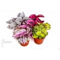 Araflora begonia package flora