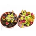 Araflora carnivorous plant 'L'attrape-mouche de vénus starter package'