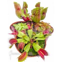 Araflora Carnivorous plant winter package