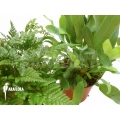 Araflora fern easy two package