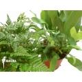 Araflora fern easy two package