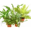 Araflora XL ferns starter package