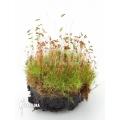 Araflora mini moss starter
