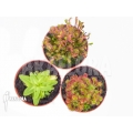 Araflora outdoor winterhardy carnivorous plants