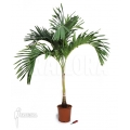 Areca catechu  'XL'