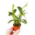 Orchidée 'Aspasia lunata' 'M'