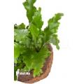 Asplenium nidus 'Campio'