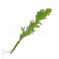 Asplenium nidus 'Fimbriatum'