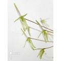 Orchidée 'Barbosella gardneri'