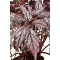 Begonia 'Supernova'