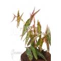 Begonia amphioxus 'Butterfly' 'L'