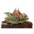 Begonia amphioxus 'Starter'