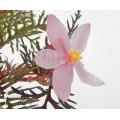 Begonia bipinnatifida 'Starter plant'