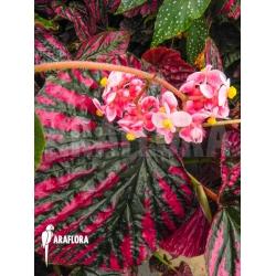 Begonia brevirimosa subsp exotica