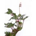 Begonia carolineifolia 'Starter plug'