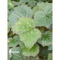 Begonia fissistyla