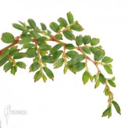 Begonia foliosa var. miniata