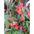 Begonia fuchsioides 'Red'