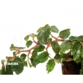 Begonia glabra 'Starter plug'